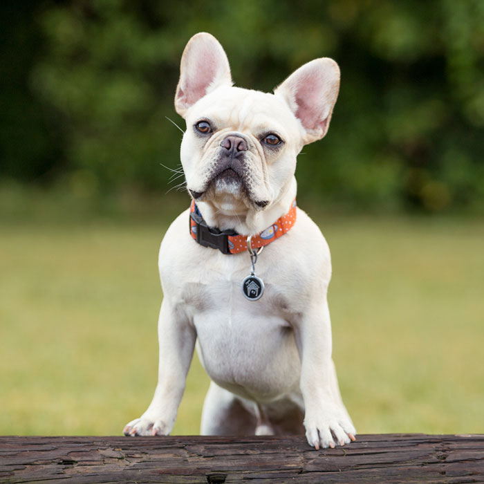 French-Bulldog mooresville and lake norman veterinarian